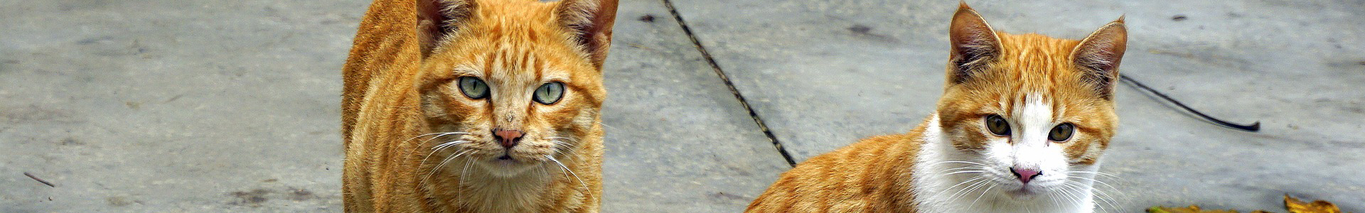 Two outdoor orange tabbies, one with white on his face and chest, look at the viewer from a concrete background.