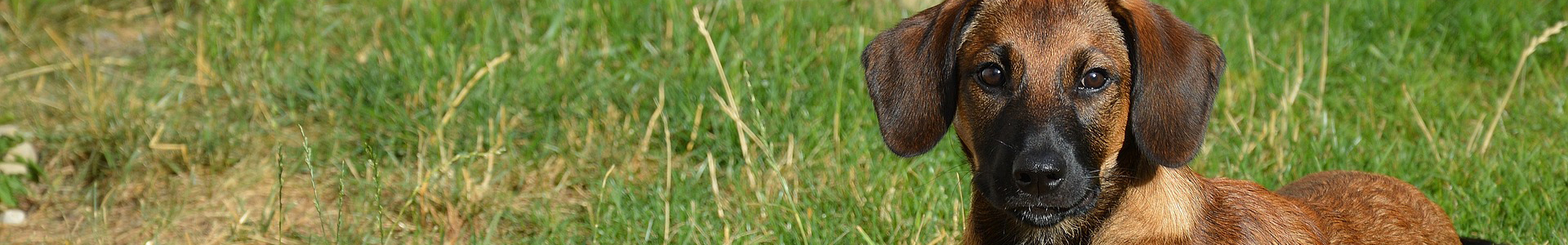 A small brown dog with floppy ears and a black muzzle looks at the viewer from a field of green grass.