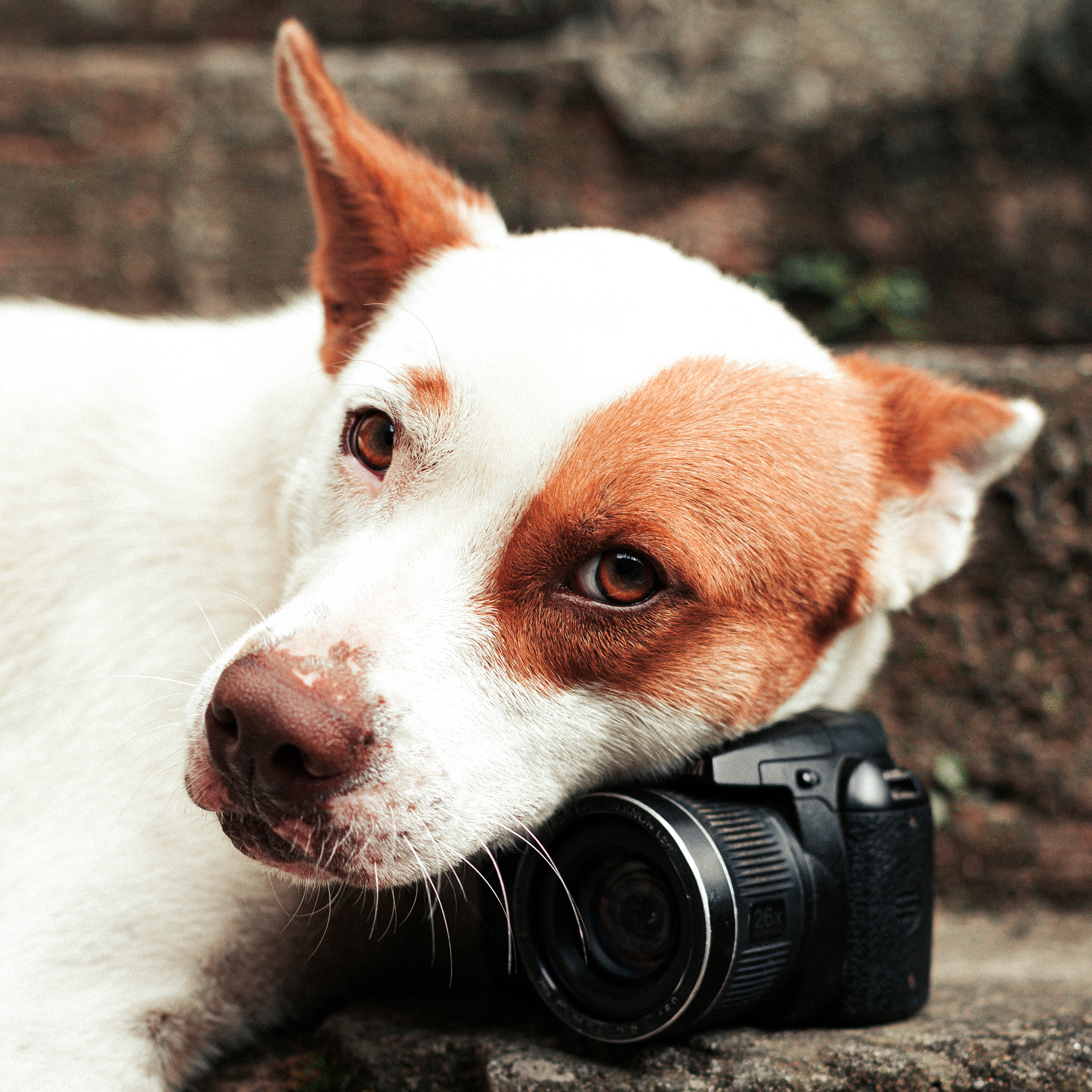 A white dog with red spots on her eyes and ears lays her head gently on an SLR camera. They both sit on cement stairs and are bathed in natural light.