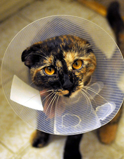 A tortoise-shell cat with orange eyes stares up guiltily at the camera through an elizabethan collar.