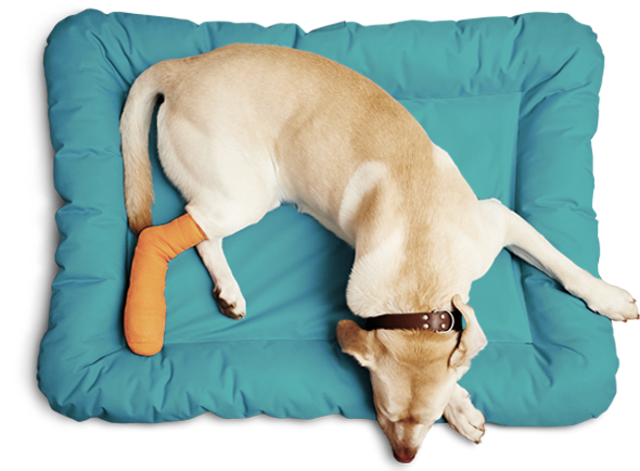 Seen from above, a yellow labrador lays on a square teal pillow with an orange cast on his rear leg.