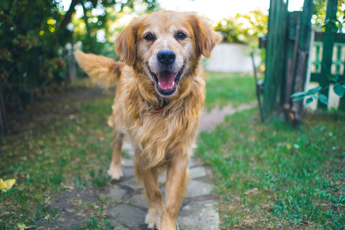 A golden retriever with graying fur around his muzzle trots toward the camera with a smile and a wagging tail.