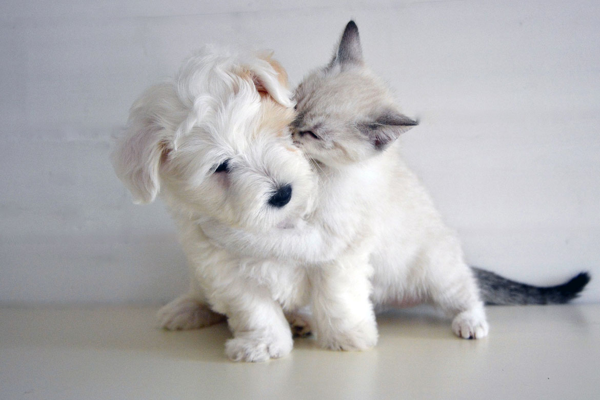 A small white kitten hugs a small white fluffy puppy around the neck in a white room.